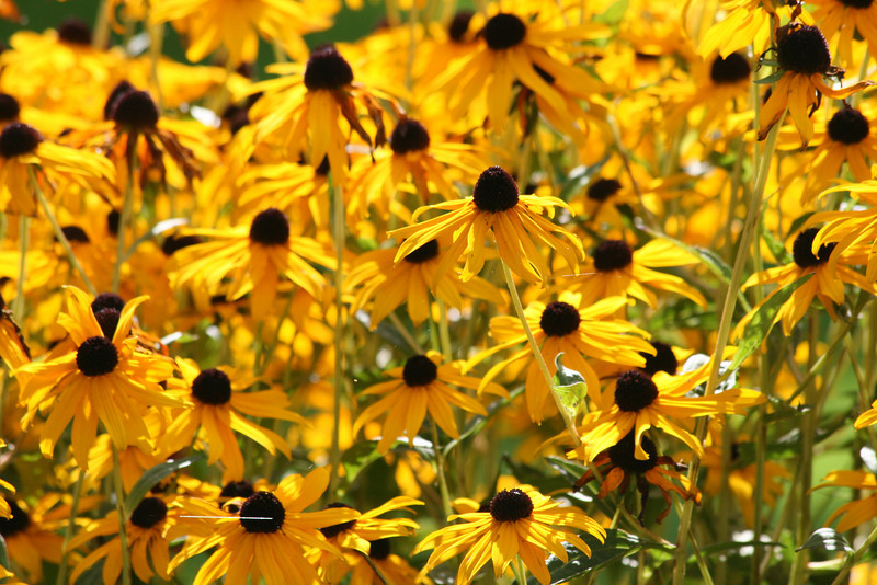 Looks like summer!<br /> Rudbeckia in the sunshine!
