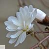 Star magnolia - 175