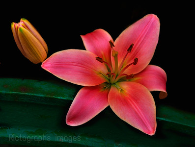 A Beautiful Pink Lily