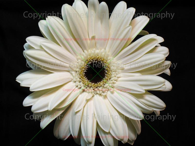 White Gerber Daisy