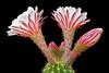 Cereus blooms, 5/14/08