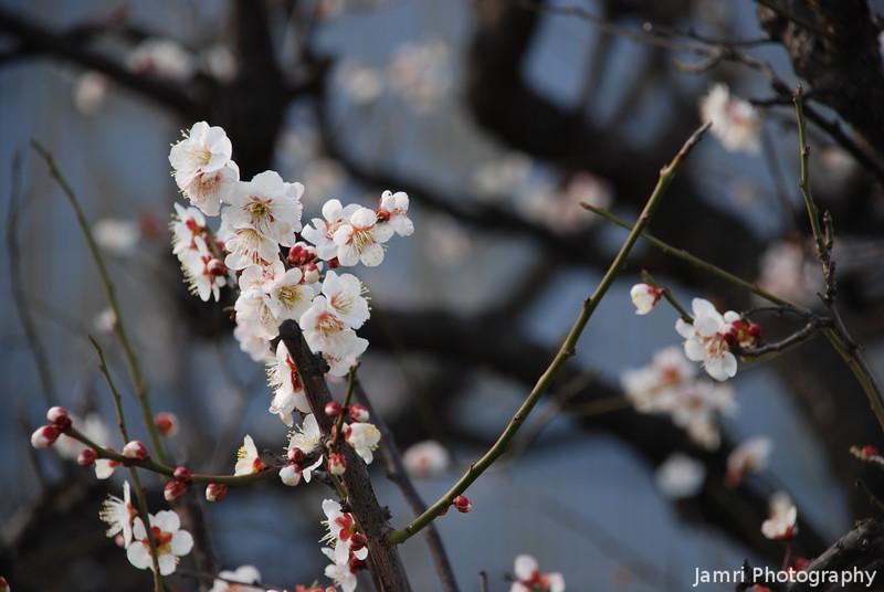 Plum Blossoms (Ume), Nagaokakyo, Kyoto, Japan