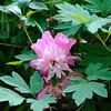 Nice delicate pink flower