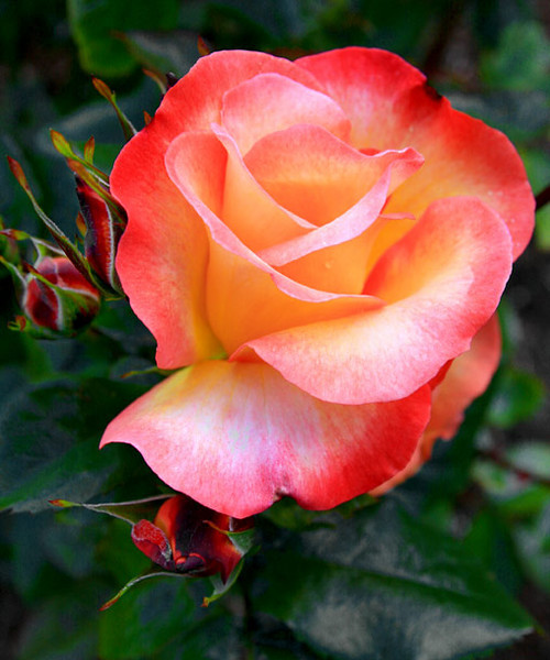 Rose3_Web_3310