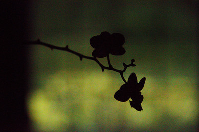 Silhouette of an orchid.  Yeah I know it's really noisy but I like the image.