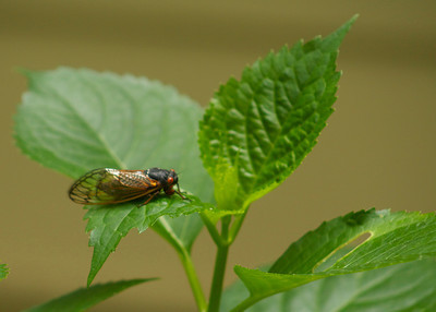 These cicadas are EVERYWHERE and they are really loud!