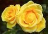 Rose5_Web_3300