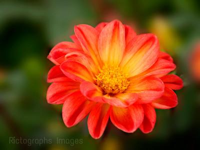 Yellow Orange Dalia