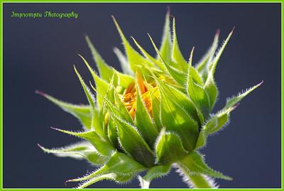 * August 30, 2011. Sunflower.