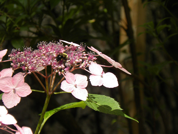 Hydrangea - look for the Bee!