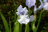 Rippling Waters Iris