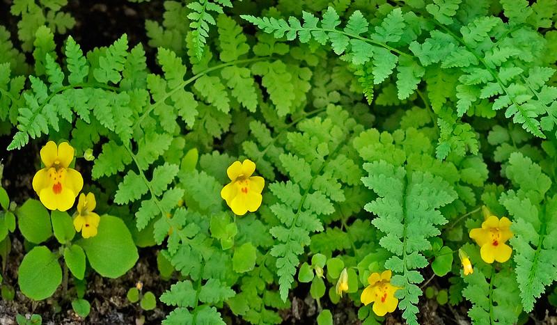 Monkey Flowers & Ferns