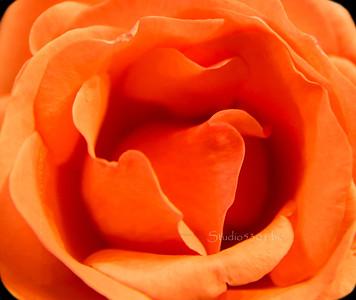 Rose center 7524