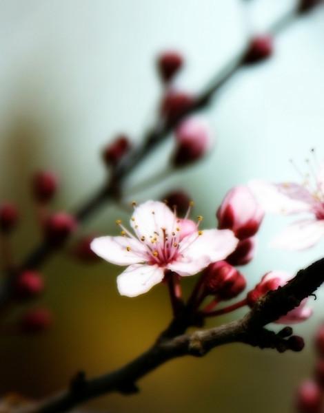 Plum blossom orton