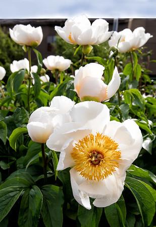 white flowers Anc1139 cf ton