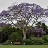 Jacaranda mimosifolia<br /> Sub-tropical tree native to South America.<br /> Royal Botanic Gardens, Sydney, Australia.