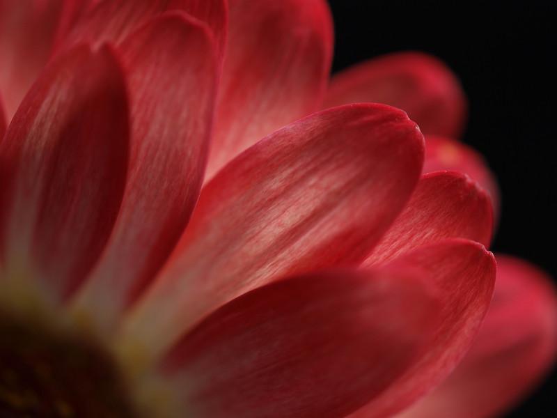 """<font color=""""#e9efb7""""> Red Gerbera Petals"""