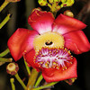 Cannonball tree flower<br /> Fairchild Tropical Gardens