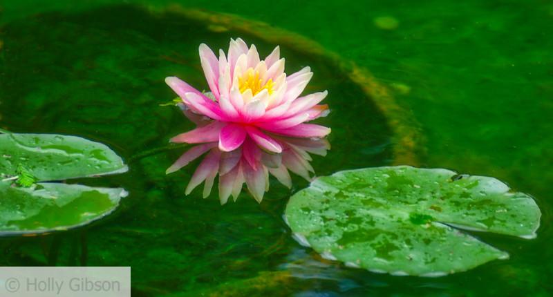 Water lily - Dallas Arboretum
