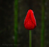 Red Tulip Bud