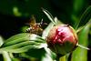 Peonie-Wasp_Web_2940
