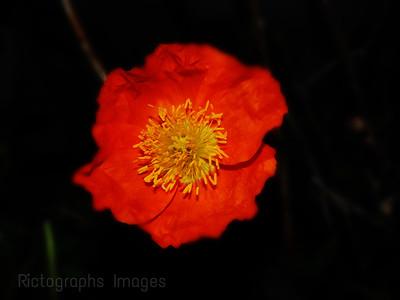 Garden Poppy Flower