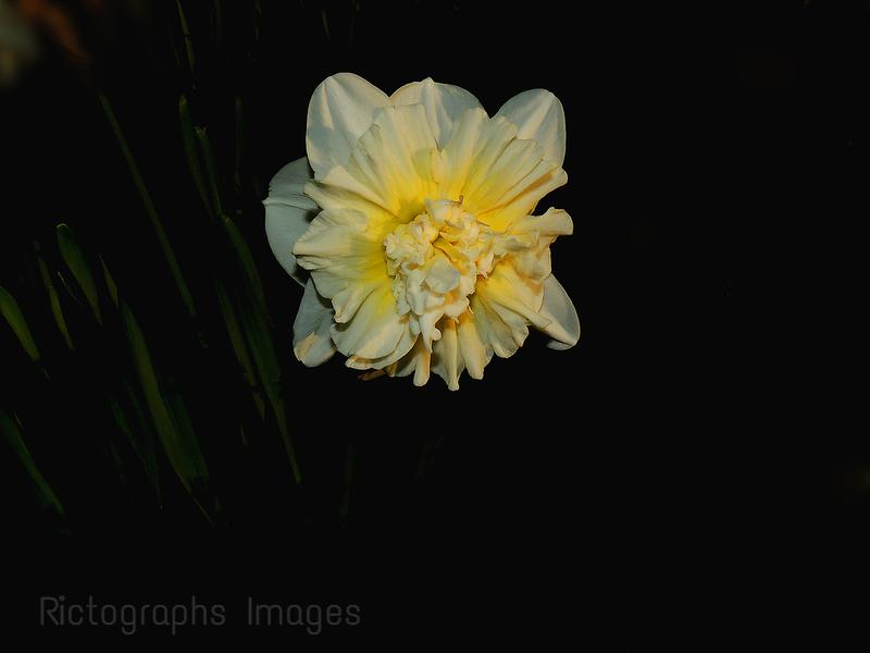 Cultivar Blooming