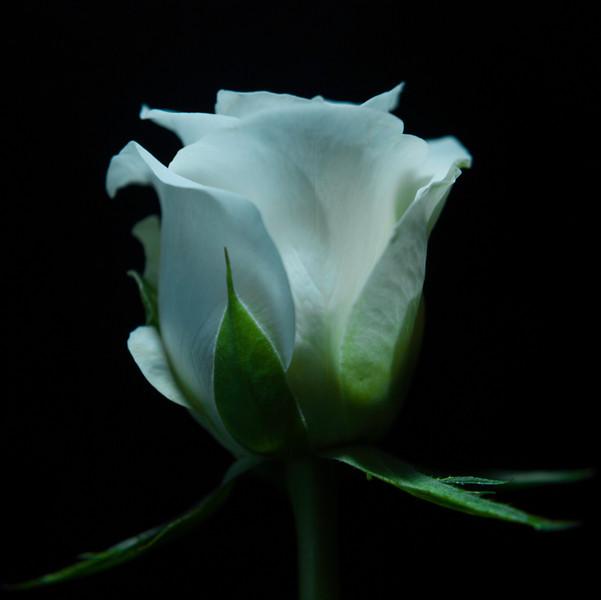 "<font color=""#e9efb7"">White Rose"