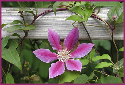 F-H-0033 Clematis Star