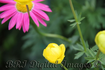 Pink And Yellow Daisys