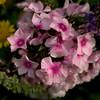 Pink Flox petals