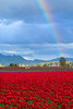 Rainbow over tulip fields