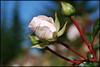 pink rose 158