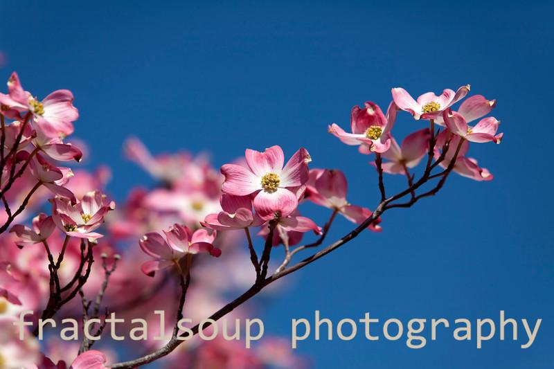 Pink Dogwood on Blue Sky