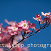 Pink Dogwood on Blue Sky