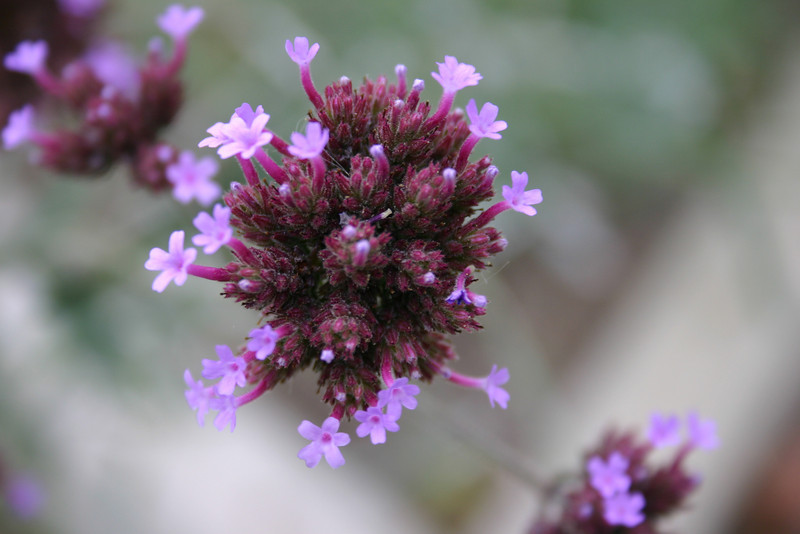 """Flower, Or Fireworks? Thanks to a comment, I can identify this as <a href=\""""http://www.floridata.com/ref/v/verb_bon.cfm\"""">verbena bonariensis</a>"""
