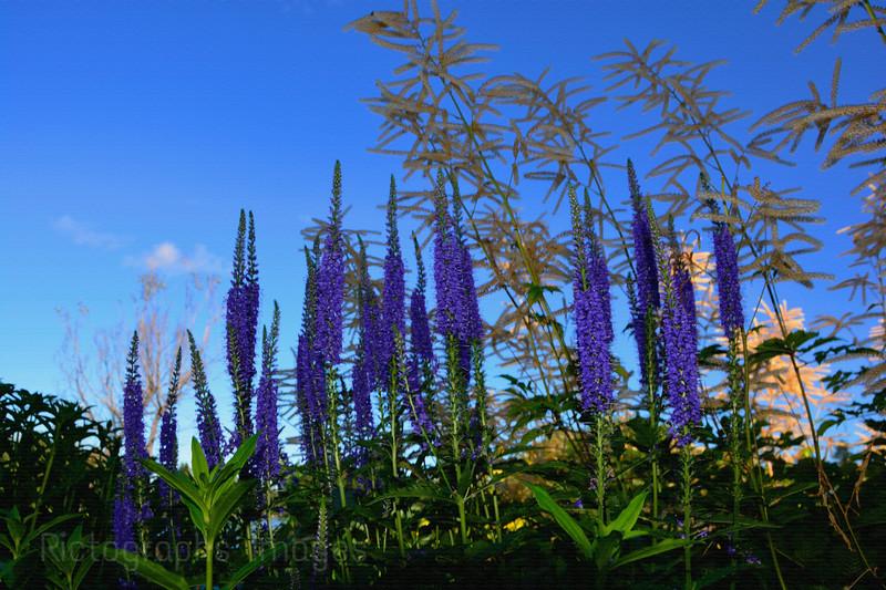 Purple Garden Flowers, Rictographs Images