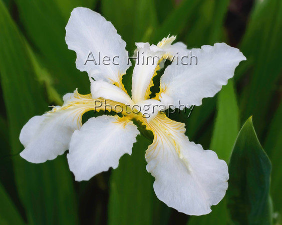 These white irises, which thrive on care or neglect and are prolific, have been in our garden for several years.  To me the white and gold colors are very elegant.