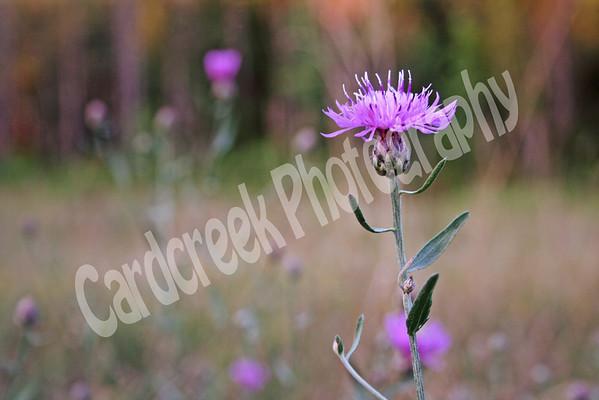 New York ironweed<br /> Vernonia noveboracensis