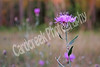 New York ironweed<br /> Vernonia noveboracensis
