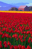 Red Tulip Field