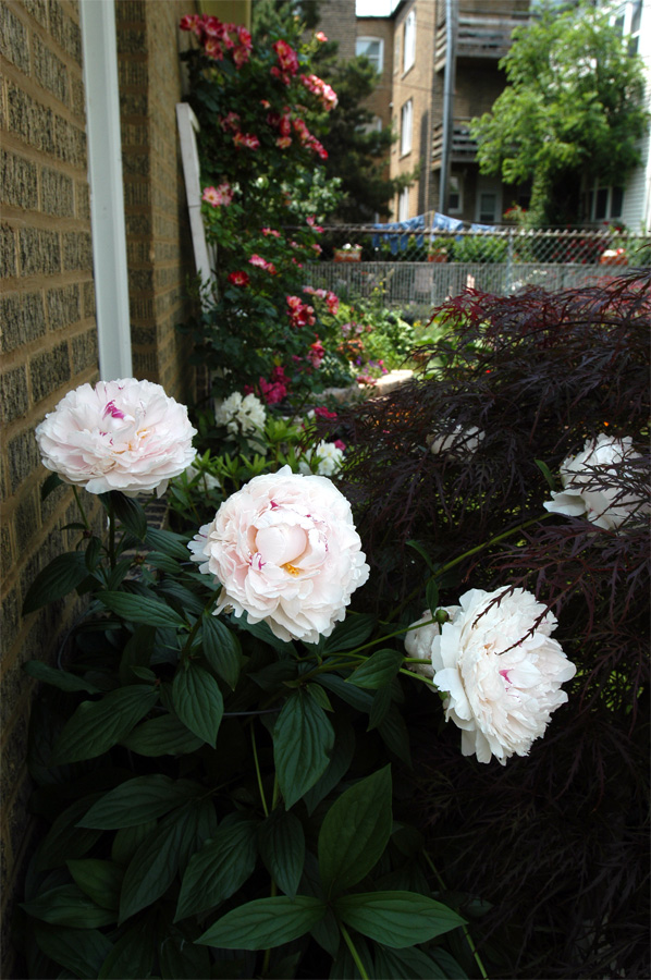 Peonies in front of the 4th of July Roses