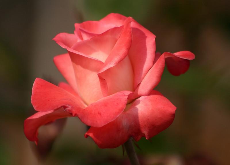 4514 - Rose
