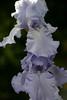 Rippling Waters Iris