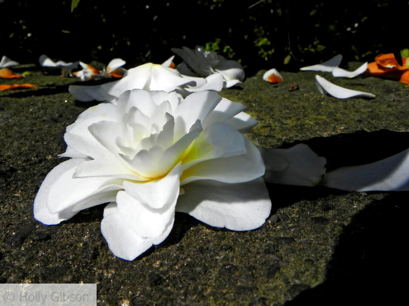 White camellia bloom - 92