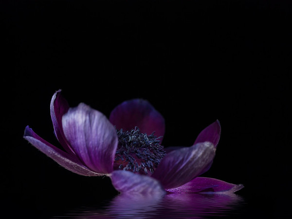 Floating Purple Anemone