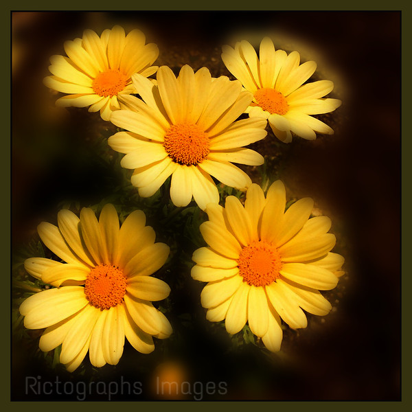 Yellow Beauties, Photo