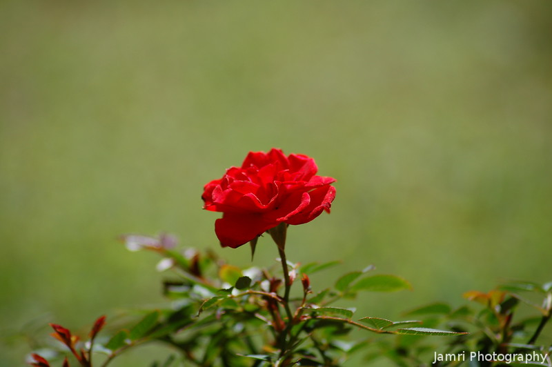 Red Miniature Rose