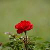 Red Miniature Rose