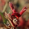 Fingers Crossed (Red Kangaroo Paw)